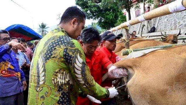 Bupati Sinjai saat memasukkan IB ke dalam indukan sapi.